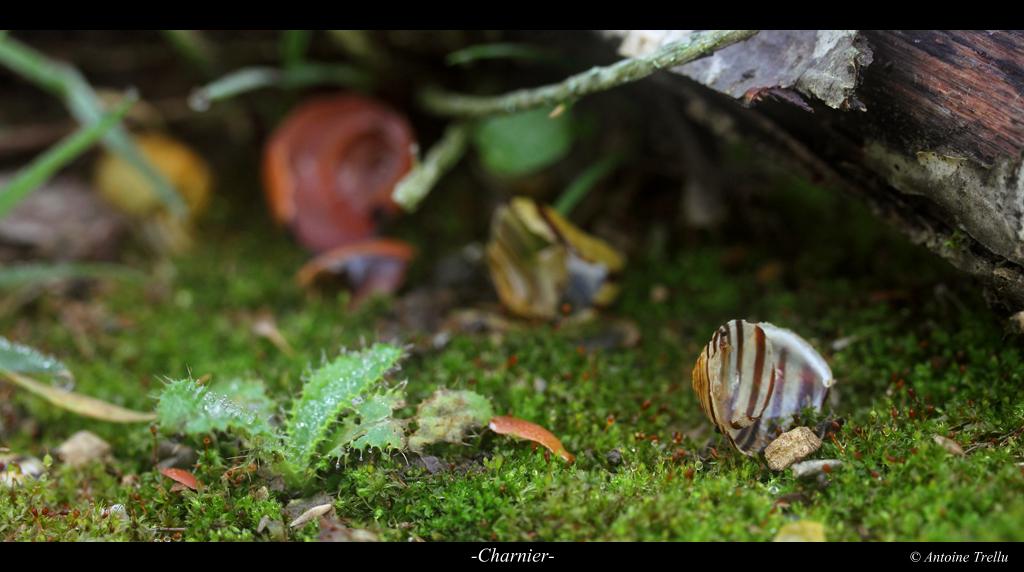 coquilles d'ascargot brisées par une grive