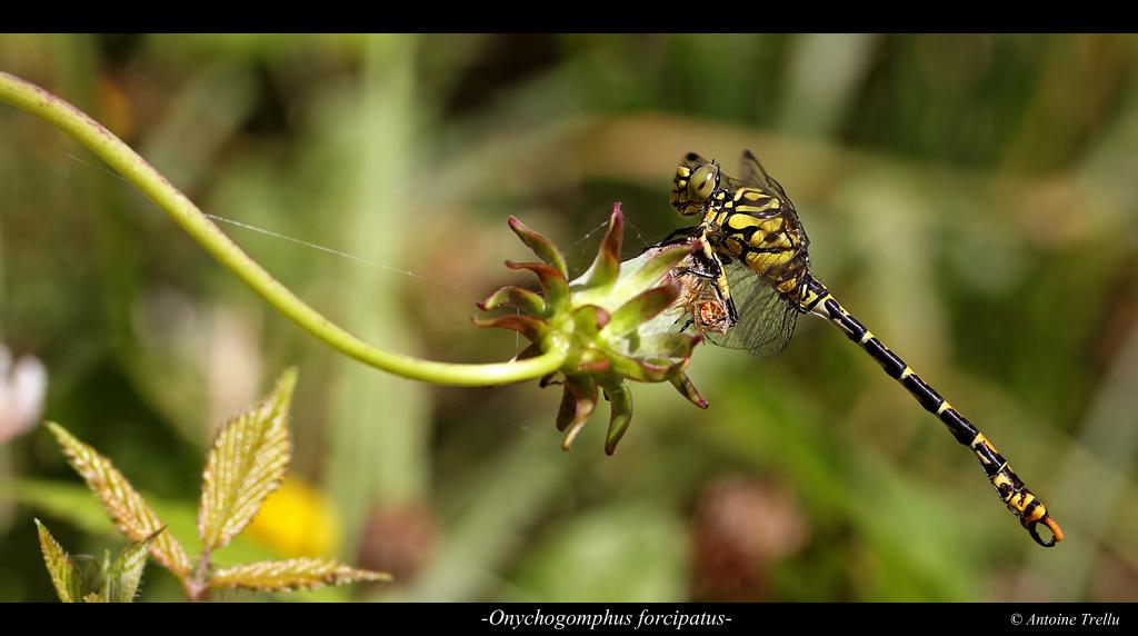 libellule sur une fleur onychogomphus